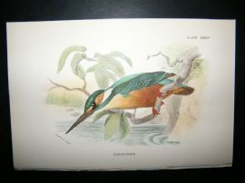 Allen 1890's Antique Bird Print. Kingfisher